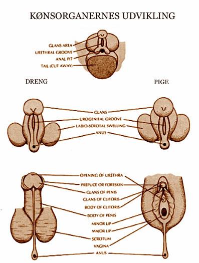 Undfangelse-03-06-Det-esoteriske-grundlag-for-hormonale-valg
